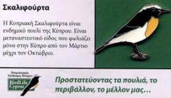 Cyprus - Wheatear
