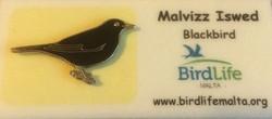 BirdLife-Malta Blackbird