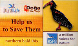 poland Birdlife Bald Ibis