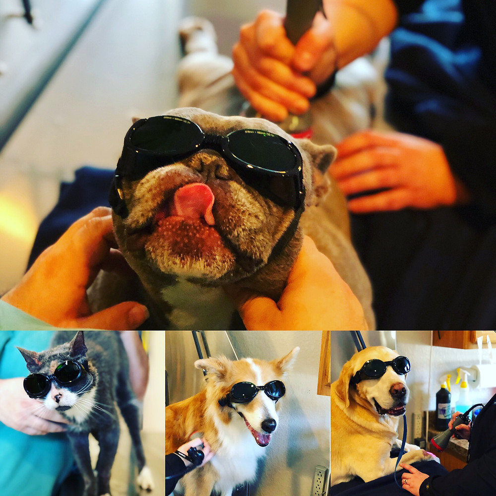 Some of our client's pets receiving laser therapy
