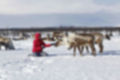 Reindeer migration tour Salekhard Yamal