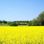 champs de colza.jpg