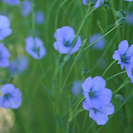 fleur de lin.jpg