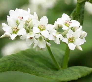 Fleur de sarrasin.jpg
