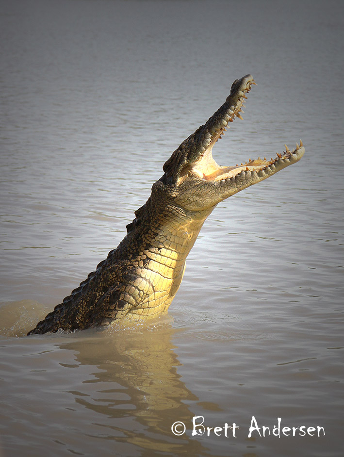 BA - Croc-9-Web