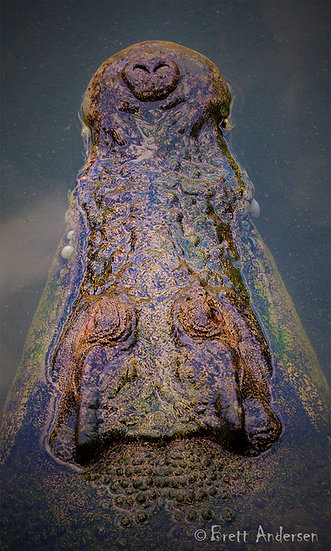 Saltwater Crocodile, Northern Territory, Australia.