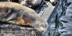 Sanfran - Seals - 11 - PANO - Web