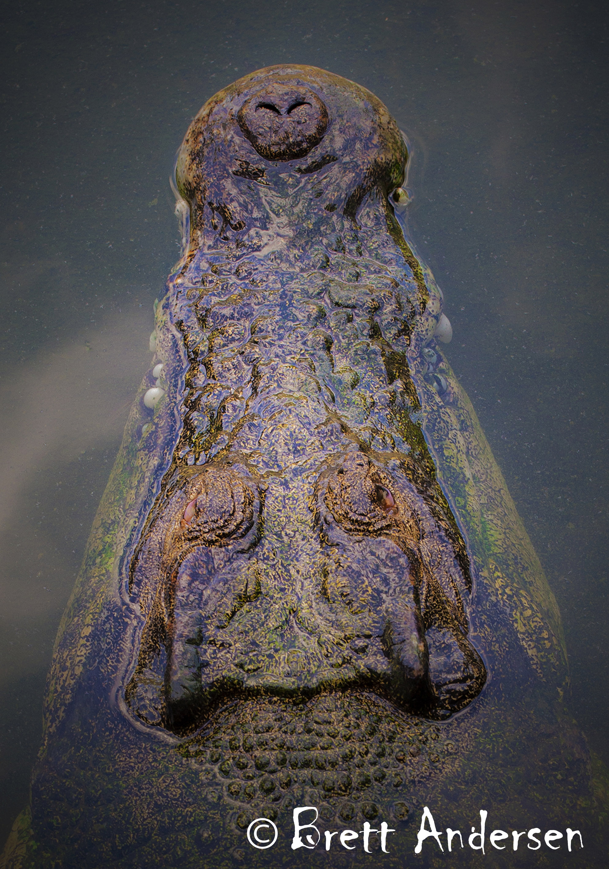 Saltwater Crocodile - 1602 - Web