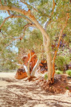Alice Springs - Trees_4732 - Web