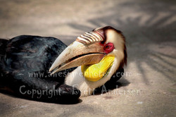Wreathed Hornbill - 1