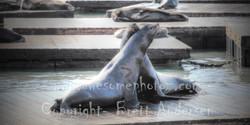 Sanfran - Seals - 12 - PANO - Web