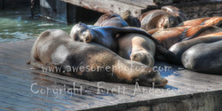 Sanfran - Seals - 13 - PANO - Web