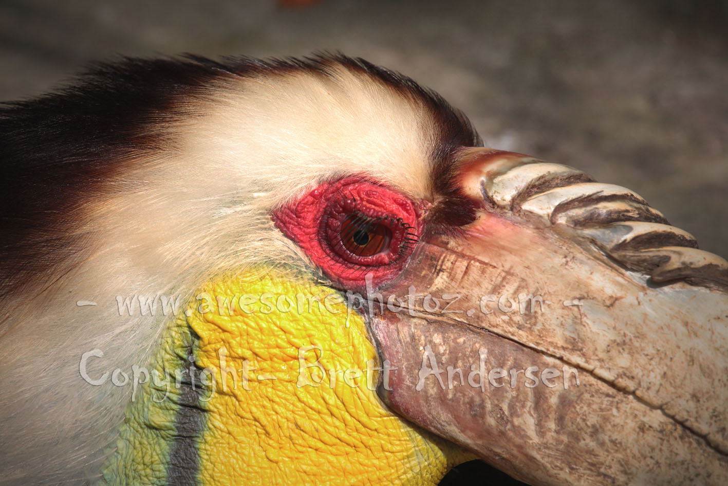 Wreathed Hornbill - 2
