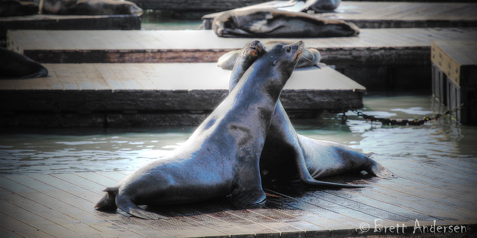 Smootching - Californian sea lions, Pier 39, San Franciso, California, USA