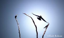 Mt Isa - Birds 1 - New - Web
