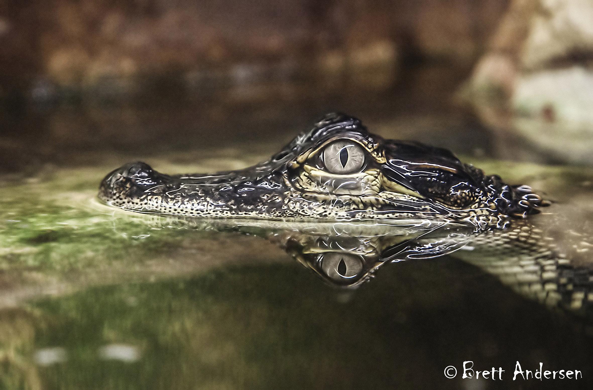 Alligator - 11 - Web