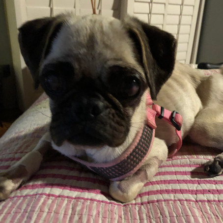 What do you get when you give to Tiny Paws Pug Rescue?
