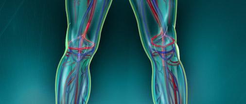 vascularisation du genou