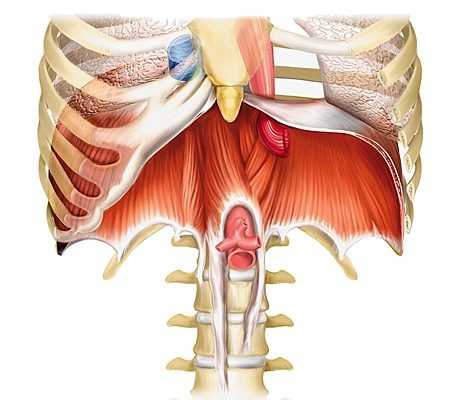 Anatomie du diaphragme