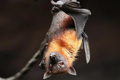 BAT.webp