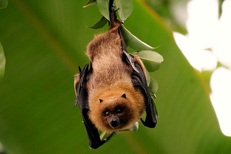 fruit bat, the Nipah virus, coronavirus