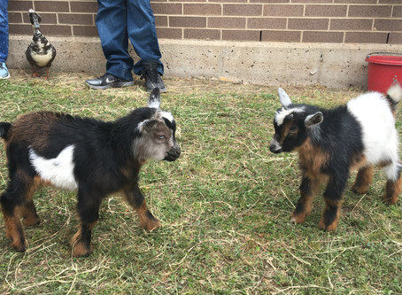 How a goat taught my daughter all the wrong things about going potty