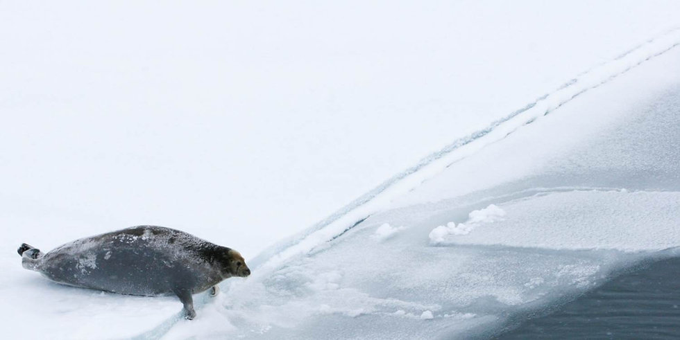 bearded_seal_at_ice_edge_4-5-2007_USGS_c