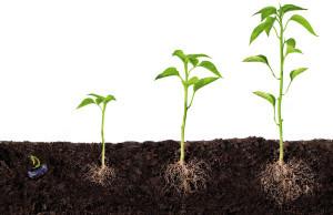 Zaad, kiem, plant