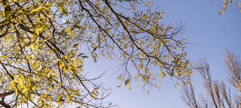 die goldene Weide