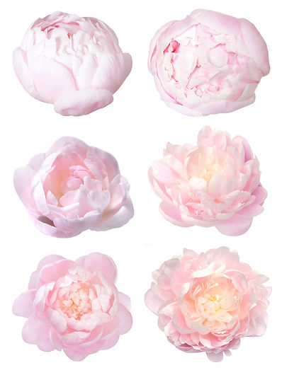 peony, peonies, jardin floral design,  fort myers, florist, ft, images, pictures, photos, pink