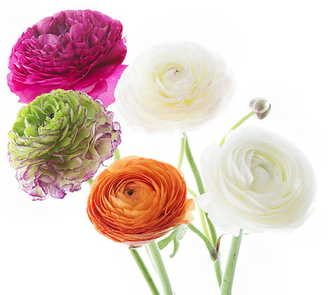 ranunculus, jardin floral design,  fort myers, florist, ft, images, pictures, photos, pink, white,orange,
