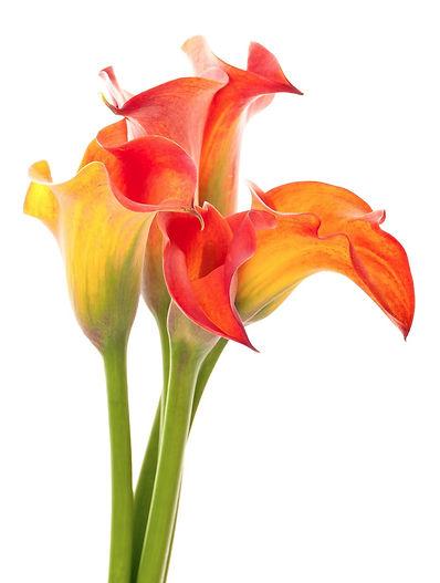 calla lily, lilies, jardin floral design, fort myers, florist, ft,  images, pictures, photos, orange