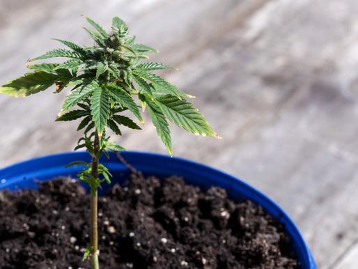 How Many Marijuana Plants Can You Grow in Oklahoma?