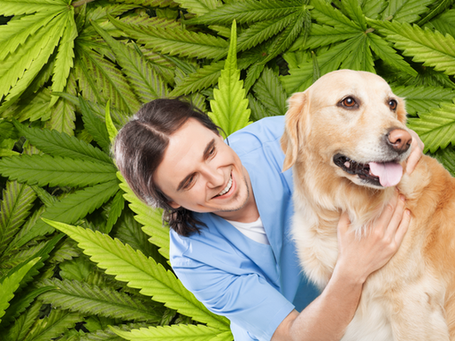 Vets May Legally Explain to Pet Parents About Use of Marijuana in Two States
