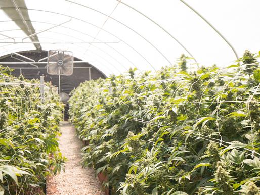 Oklahoma: Investigating on Lawbreaking Marijuana Companies