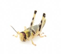 Locusts (bulk)