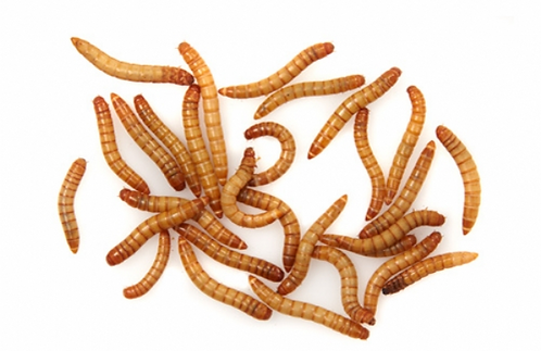 Mealworms (Live) 500g Regular Size