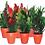Thumbnail: Komodo Small Plant (Assorted)