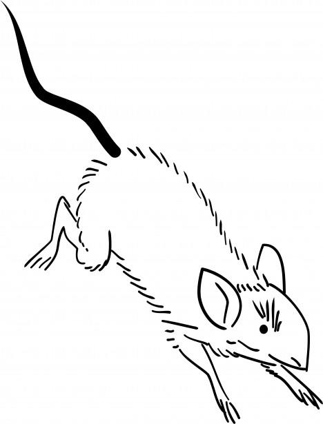 Frozen Rat XL (360g+) Qty 1