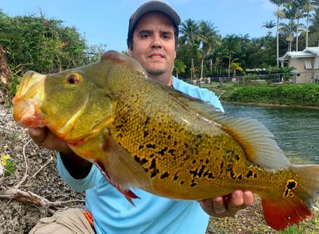 When do Peacock bass spawn in Florida?