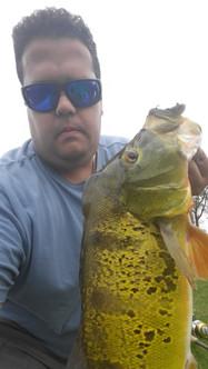 peacock bass spawning