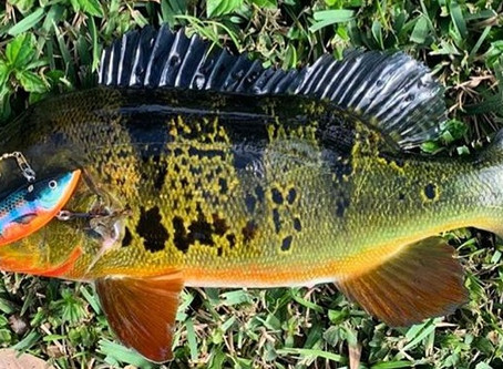 Can you eat Peacock Bass?