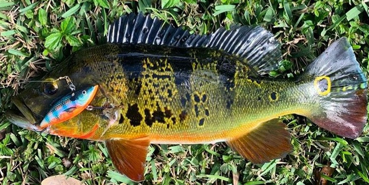 Peacock bass caught on Bill lewis Rat-L-trap fishing lure