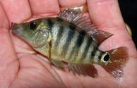 mayan cichlid best florida peacock bass bait