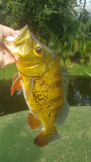 peacock bass with patterns