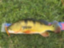 peacock bass 19 inch