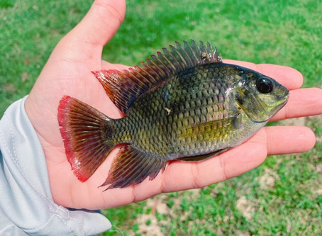Spawning Florida Bluegill attacking cichlids