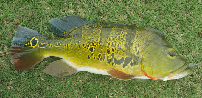 Male spawning peacock bass