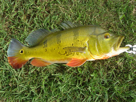 Best Hard swimbait lures for Florida peacock bass.