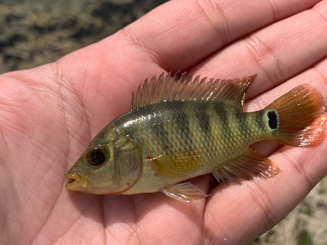 Mayan cichlid invasive Florida species